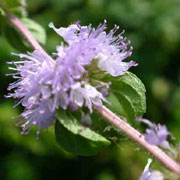 camomile tea fungicide