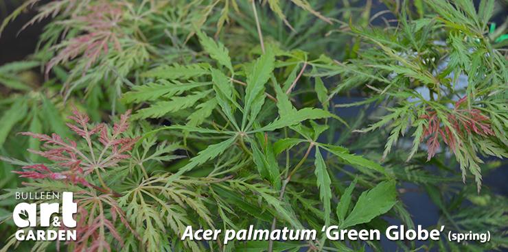 Acer Japanese Maple Bulleen Art Garden