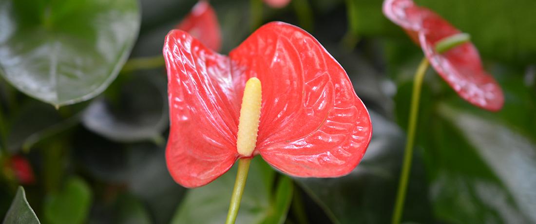 Anthurium / Flamingo Flower