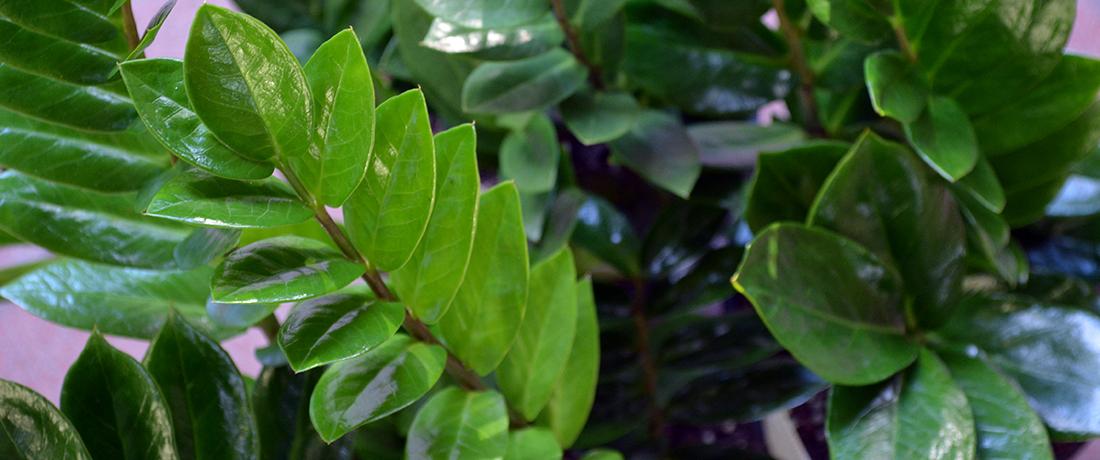Zanzibar Gem, ZZ Plant