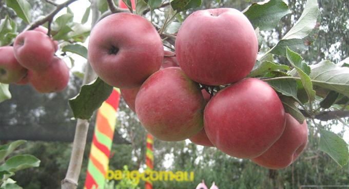 Heritage Apples (Photograph by Bulleen Art & Garden)