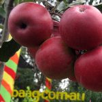 Apples (Modern)