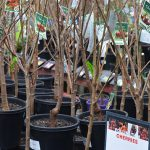 Bare Root Tree Planting and Pruning Guide