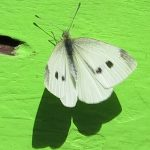 Cabbage White Butterfly and Cabbage Moth