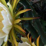 Dragon Fruit (Pitaya)