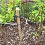 Duo or Multi Fruit Tree Planting