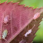 Beneficial Insects and Mites - the BAAG experience