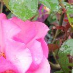 Blackspot and Powdery Mildew on Roses