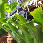 Staghorn & Elkhorn Ferns