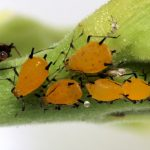 Pests, Problems & Diseases